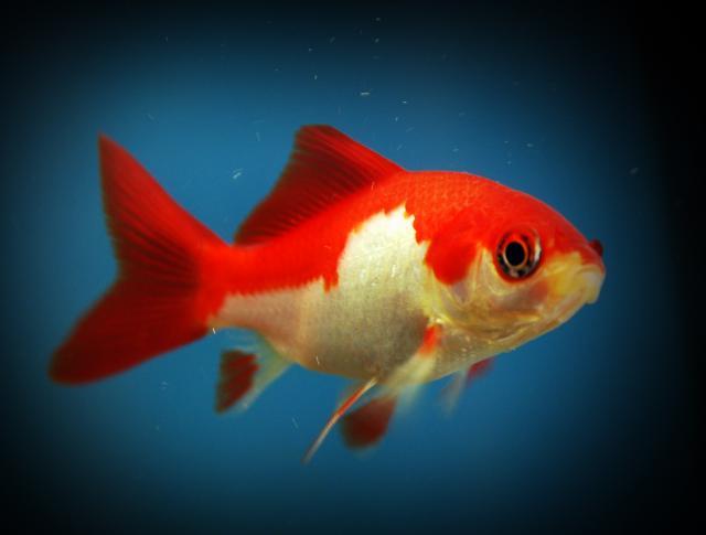 Il pesciolino rosso su i love my pet 39 s for Piscina per pesci rossi